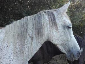 Hera, yegua hispano-árabe, la más dinámica de nuestros caballos