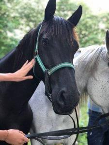Eclipse, macho negro de muy buen carácter, es muy empático con las personas, es le preferido de los niños y el patriarca de nuestros caballos